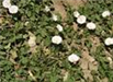 Field Bindweed also known as Morning Glory