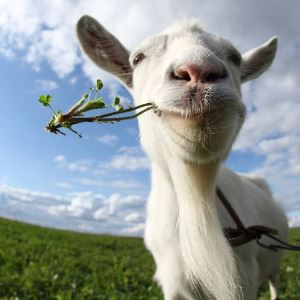 Goat eating weeds